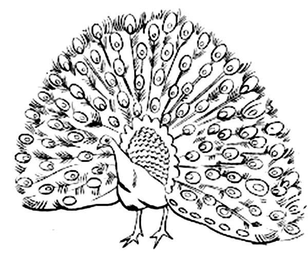 Peafowl coloring #18, Download drawings