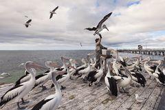 Pelican Island clipart #9, Download drawings