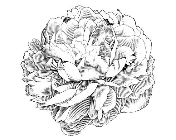 Peony clipart #10, Download drawings
