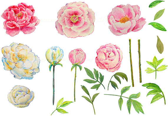Peony clipart #8, Download drawings