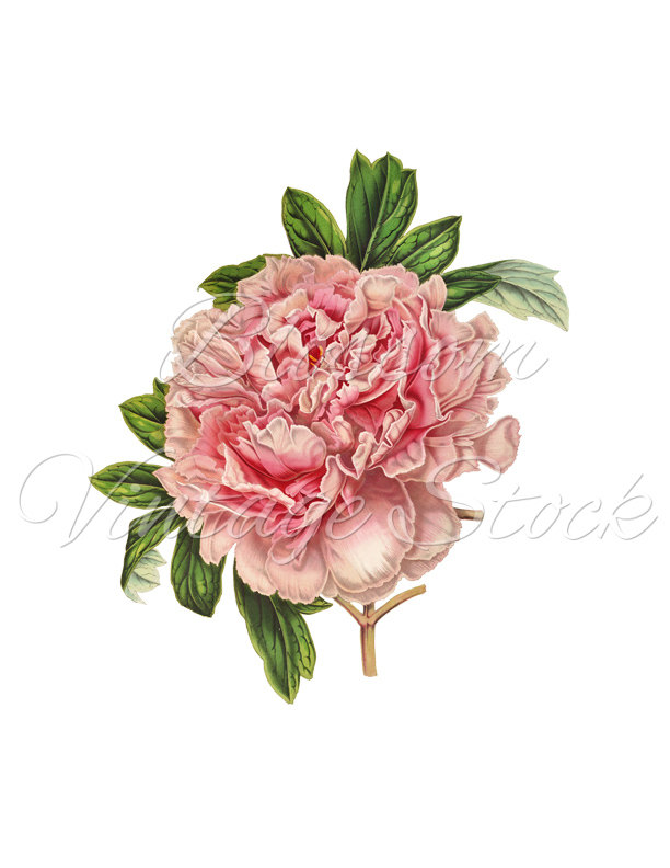Peony clipart #18, Download drawings