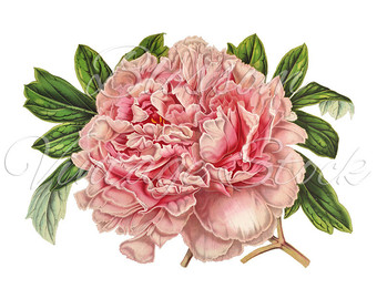 Peony clipart #17, Download drawings