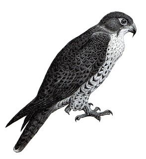 Peregrine Falcon clipart #14, Download drawings