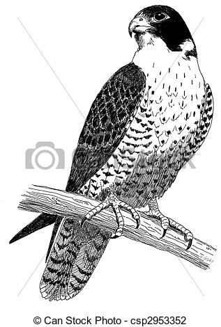 Peregrine Falcon clipart #15, Download drawings