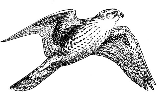 Peregrine Falcon clipart #3, Download drawings