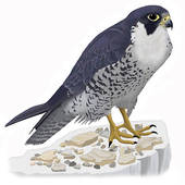 Peregrine Falcon clipart #18, Download drawings