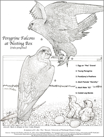 Peregrine Falcon coloring #13, Download drawings