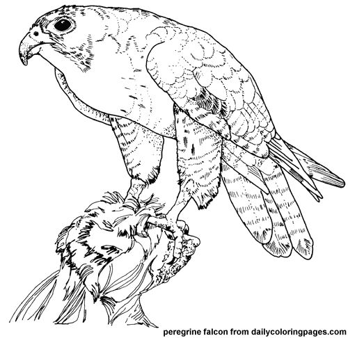Peregrine Falcon coloring #10, Download drawings