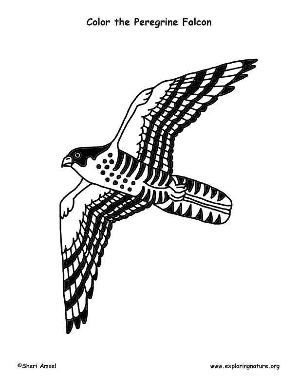 Peregrine Falcon coloring #14, Download drawings