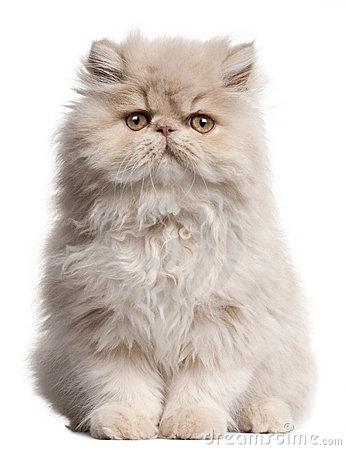 Persian Cat clipart #17, Download drawings