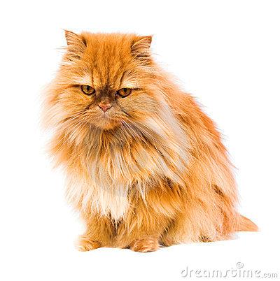 Persian Cat clipart #12, Download drawings