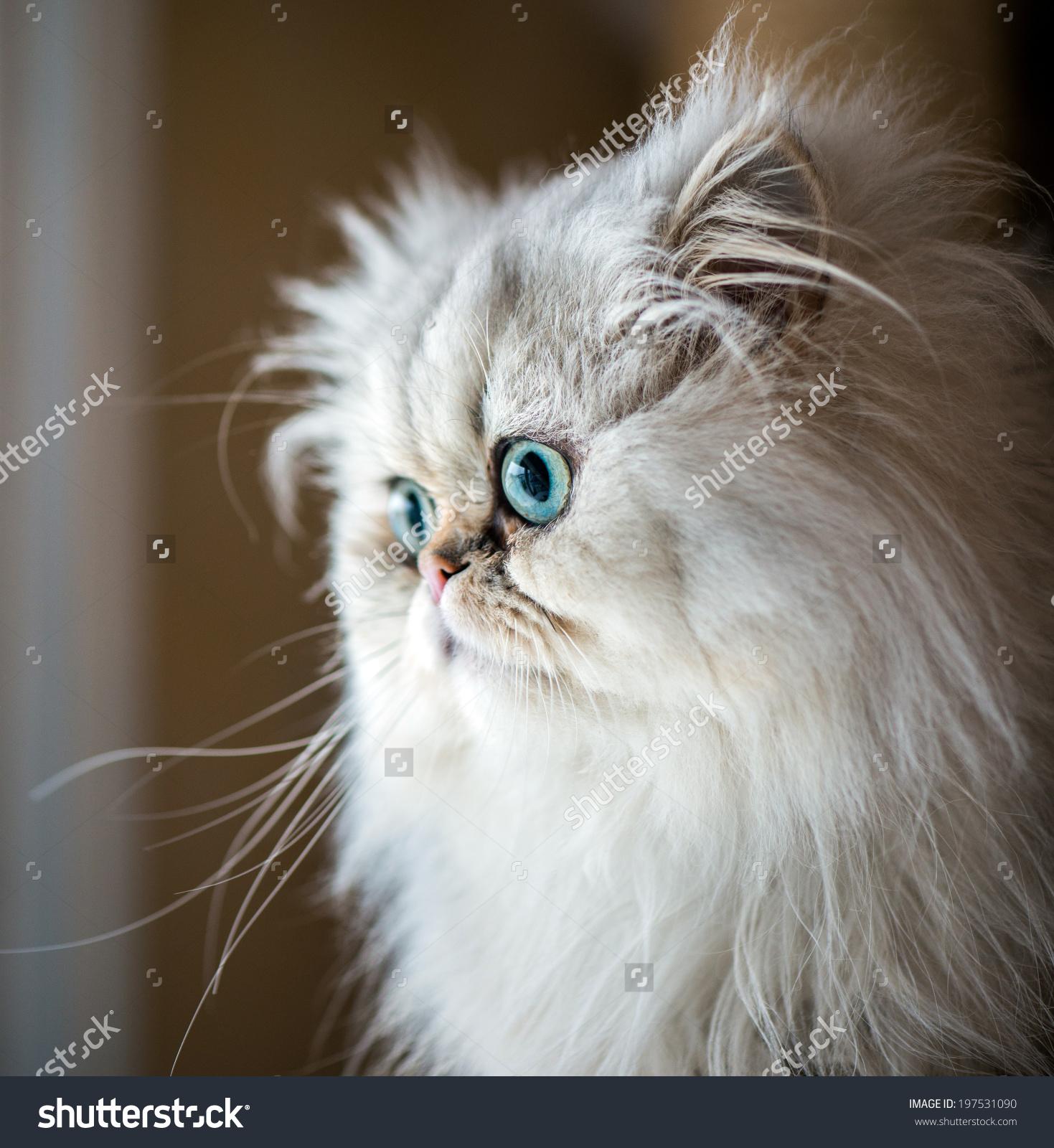 Persian Cat clipart #18, Download drawings