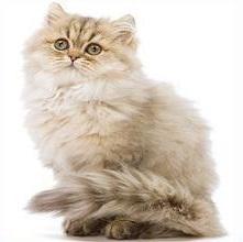 Persian Cat clipart #2, Download drawings