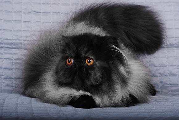 Persian Cat coloring #20, Download drawings