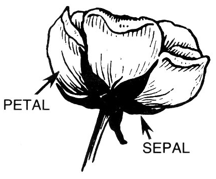 Petal clipart #2, Download drawings