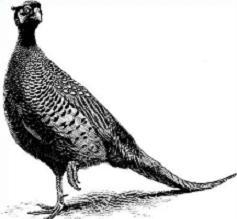 Pheasant clipart #11, Download drawings