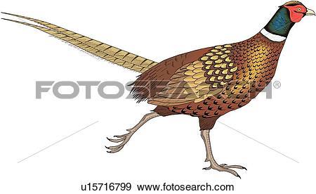 Pheasant clipart #17, Download drawings