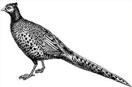 Pheasant clipart #5, Download drawings