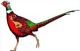 Pheasant clipart #19, Download drawings