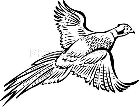 Pheasant clipart #12, Download drawings