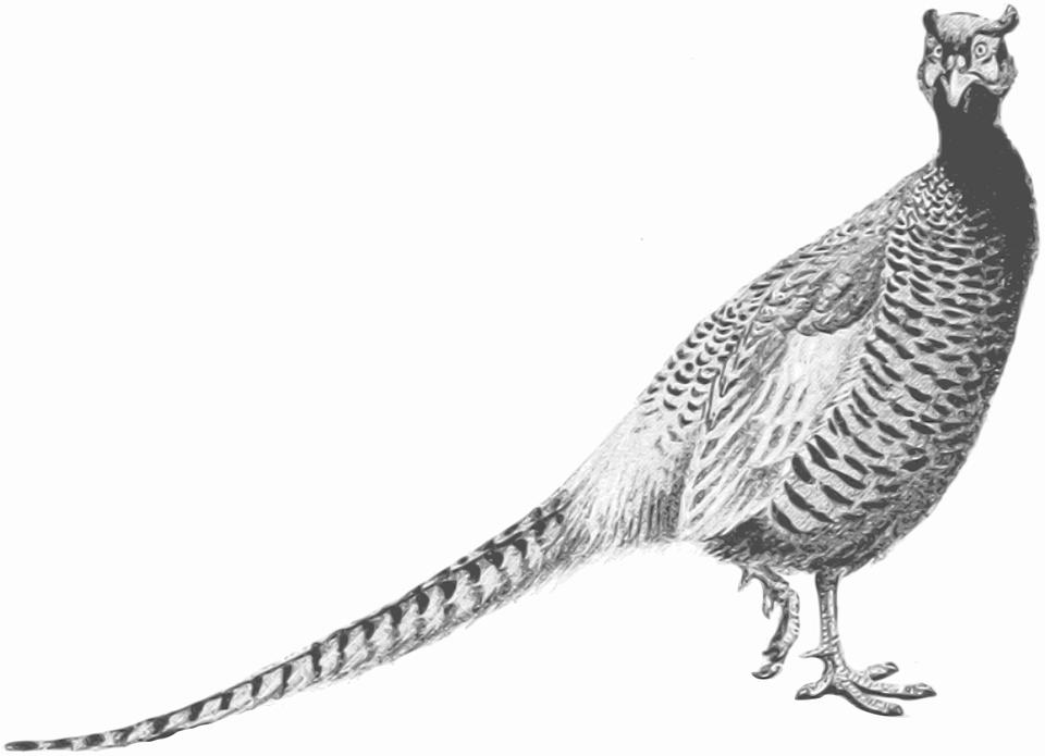 Pheasant svg #6, Download drawings