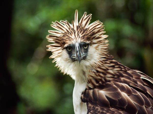 Philippine Eagle clipart #1, Download drawings