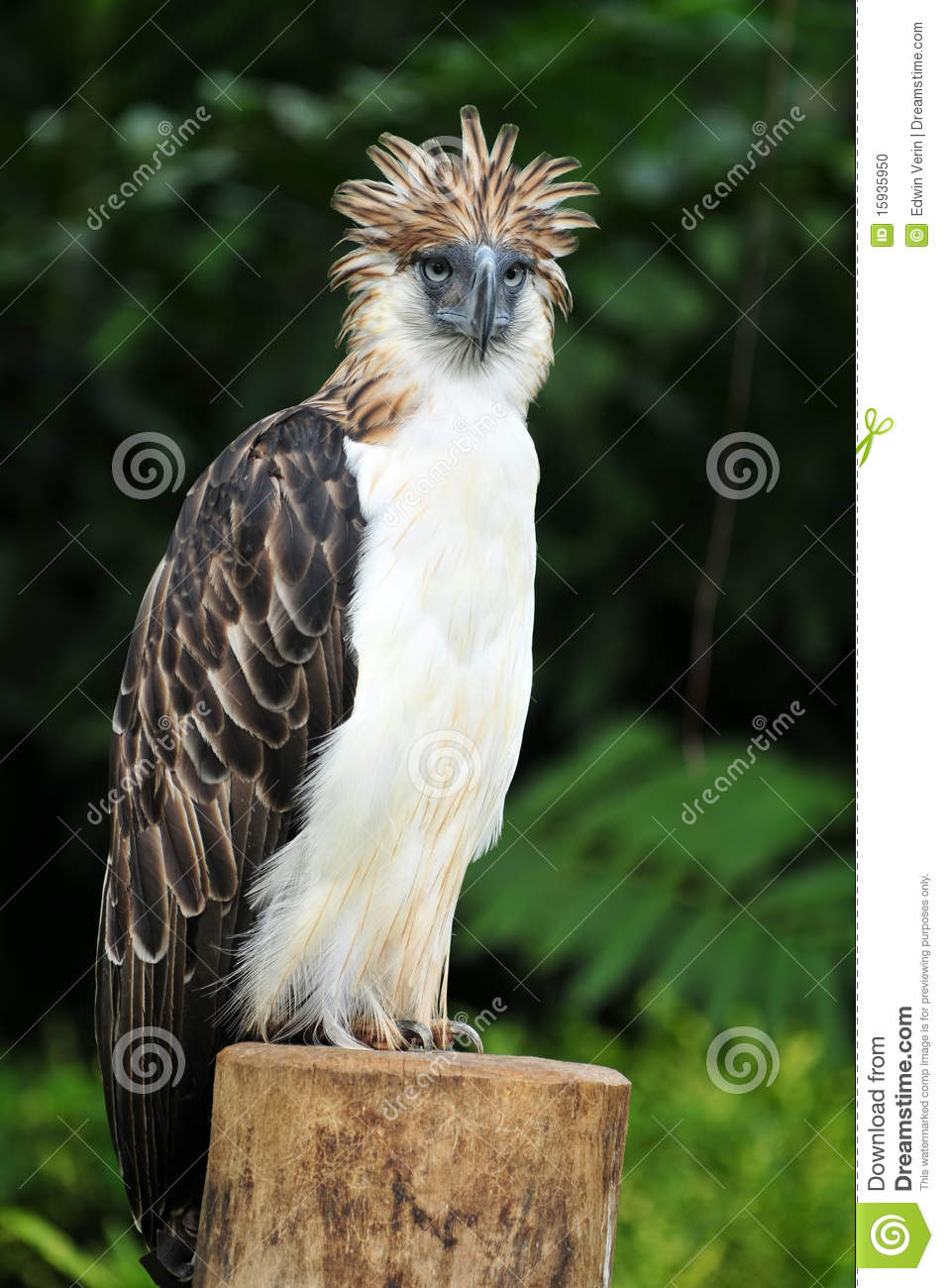 Philippine Eagle clipart #19, Download drawings