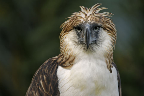 The Philippine Eagle clipart #14, Download drawings