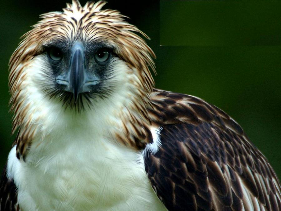 Philippine Eagle clipart #11, Download drawings
