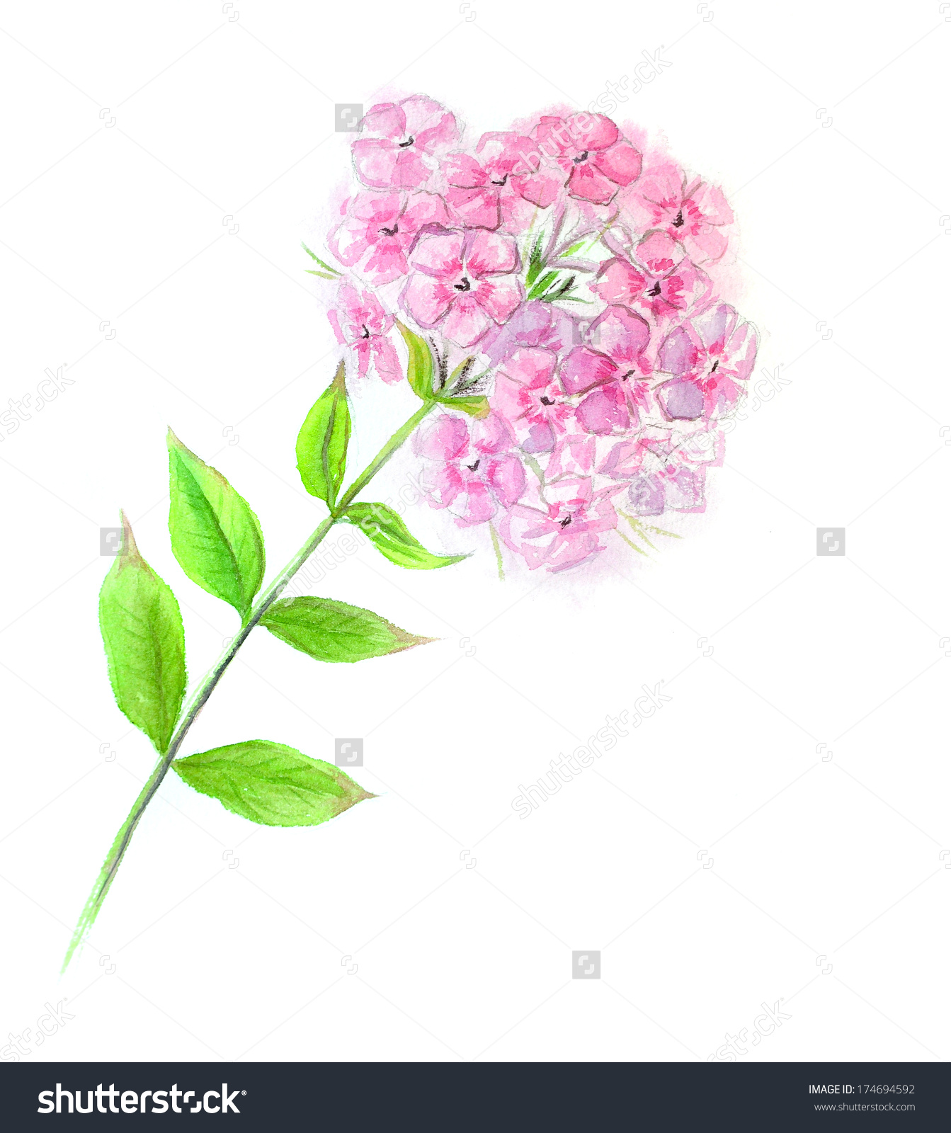 Phlox clipart #2, Download drawings