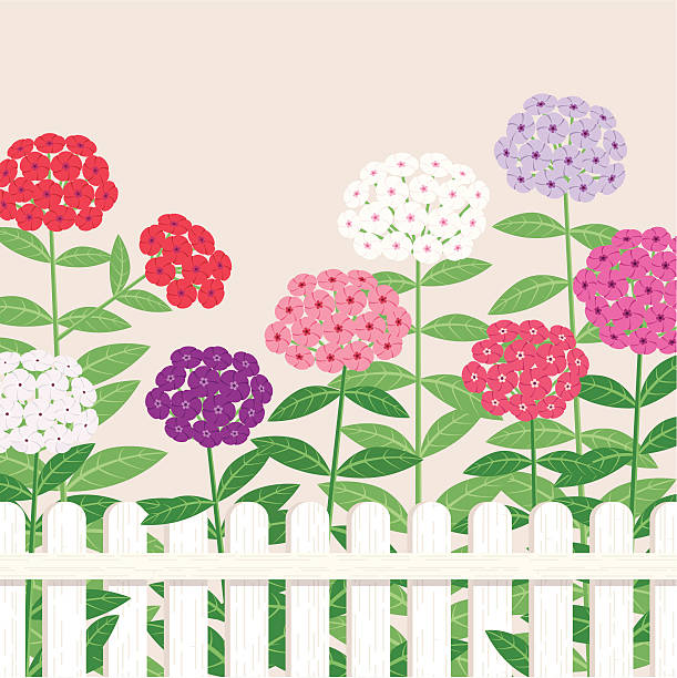 Phlox clipart #10, Download drawings