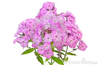 Phlox clipart #19, Download drawings