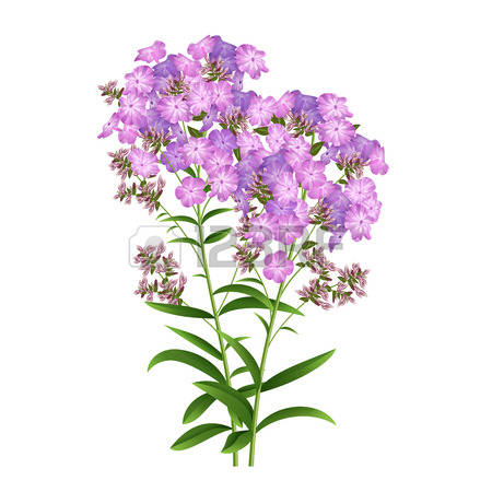 Phlox clipart #16, Download drawings