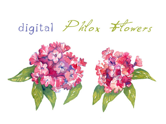 Phlox clipart #12, Download drawings