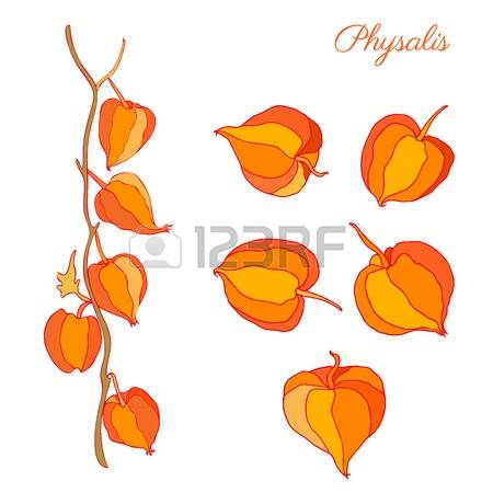 Physalis clipart #6, Download drawings