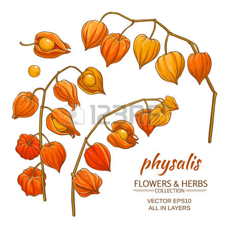 Physalis clipart #10, Download drawings
