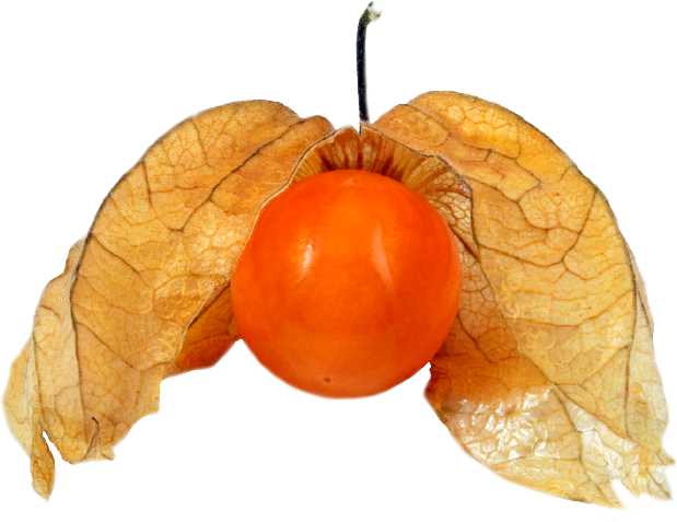 Physalis clipart #14, Download drawings
