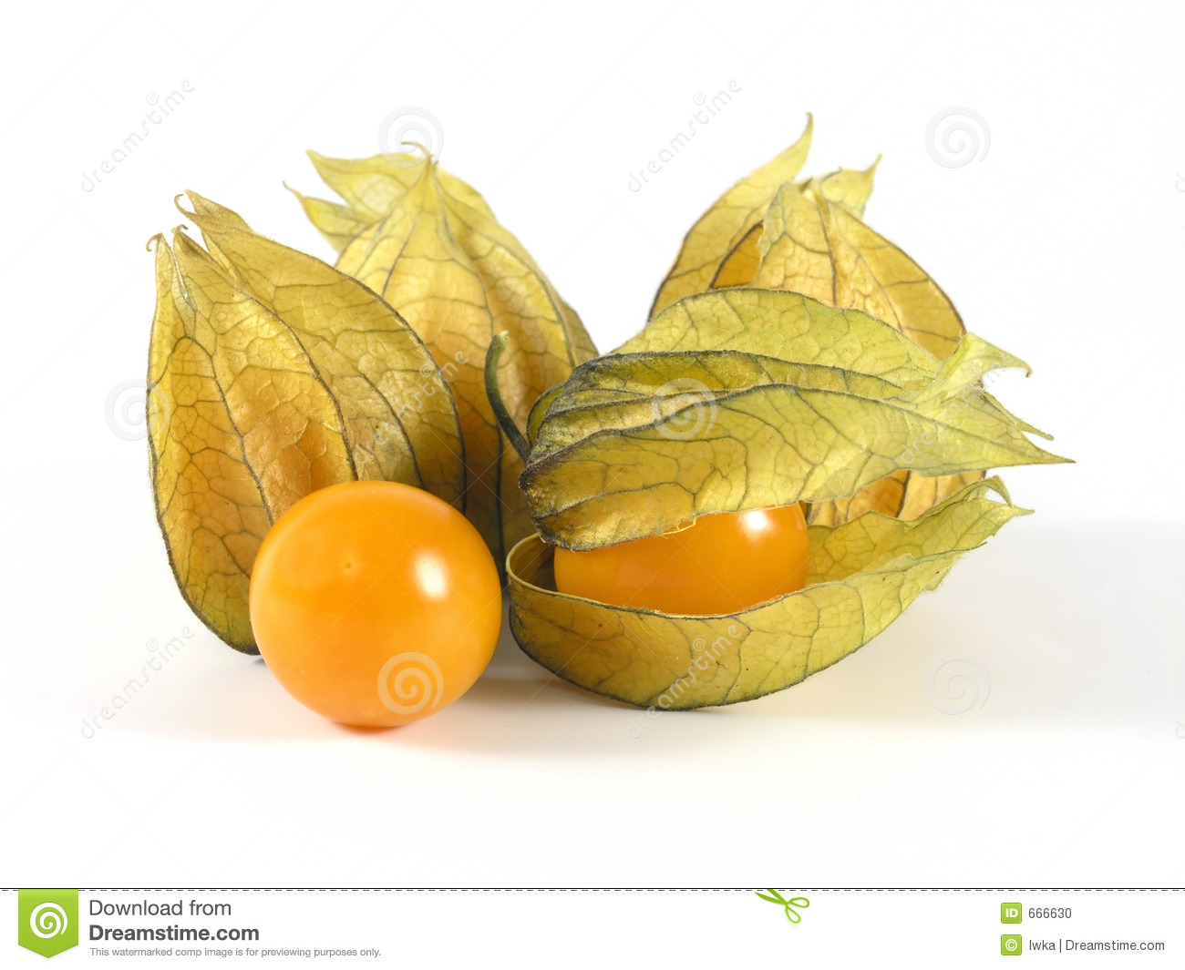 Physalis clipart #18, Download drawings