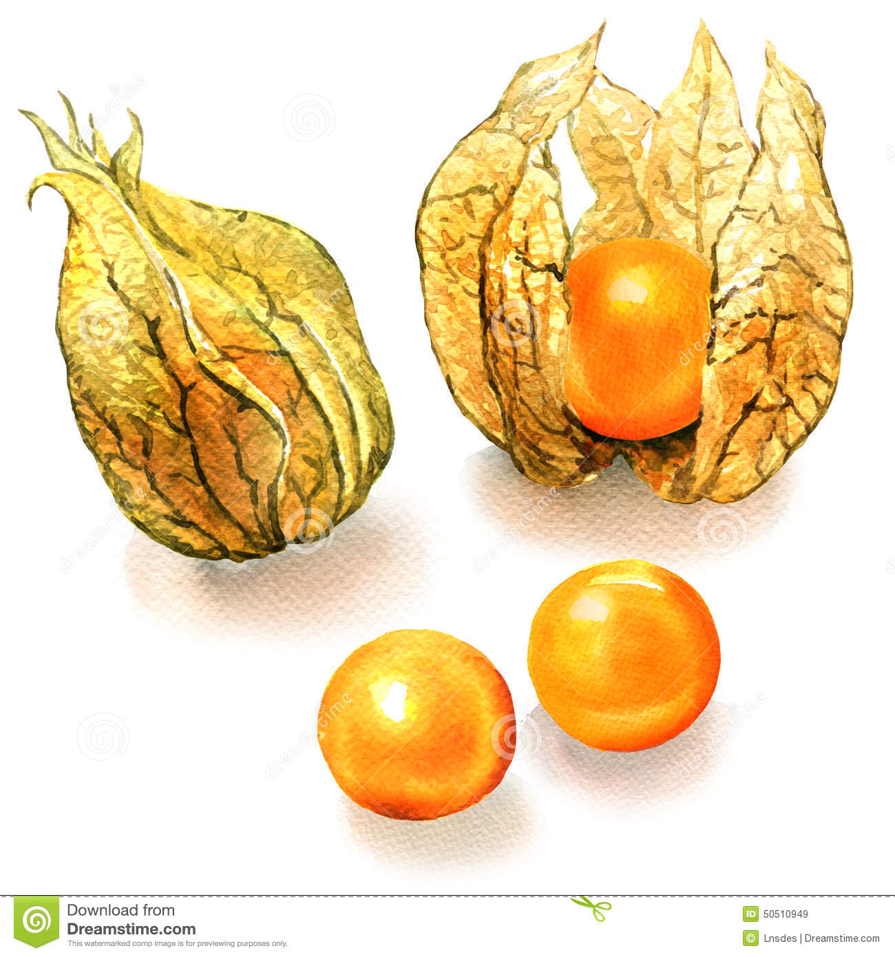 Physalis clipart #17, Download drawings