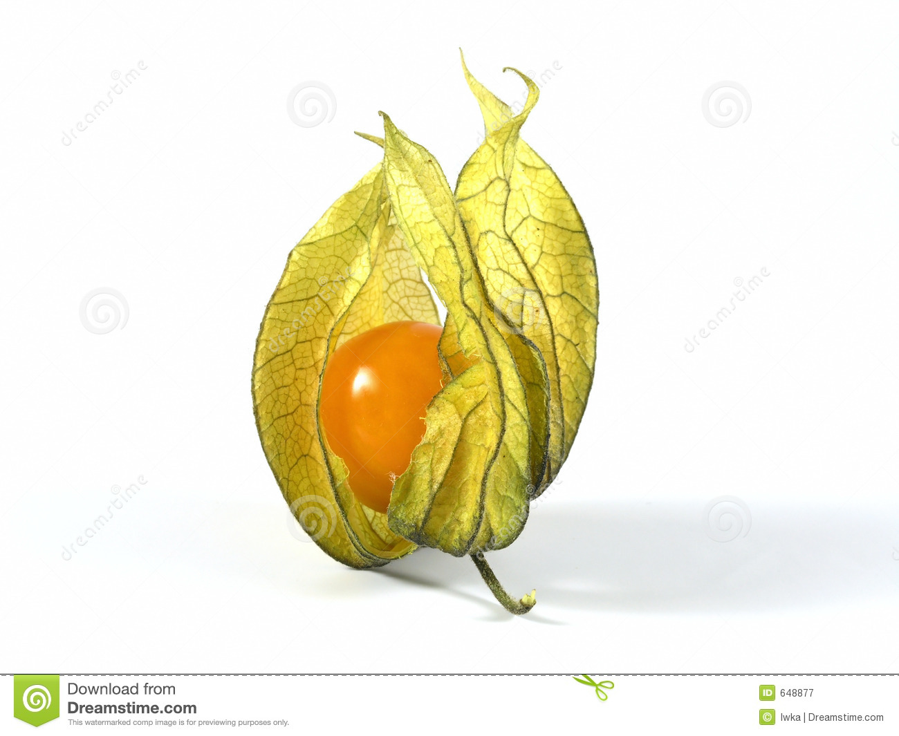 Physalis clipart #16, Download drawings