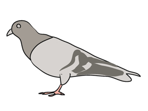 Pidgeons clipart #10, Download drawings