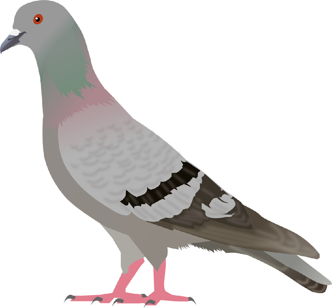 Pigeon clipart #3, Download drawings