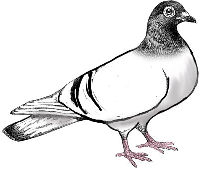 Pigeon clipart #11, Download drawings