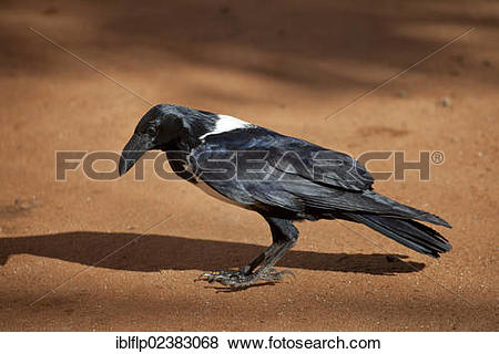 Pied Crow clipart #2, Download drawings