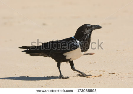 Pied Crow clipart #13, Download drawings