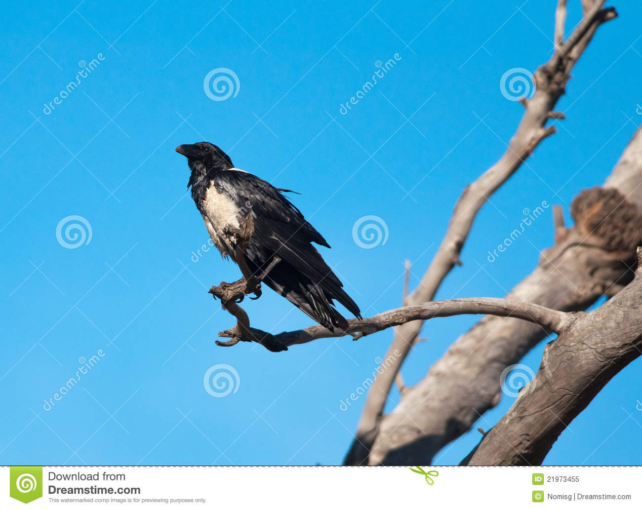 Pied Crow clipart #11, Download drawings