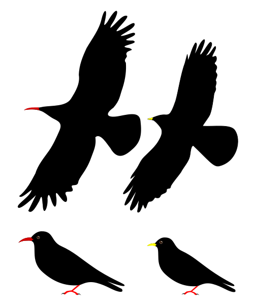 Pied Crow svg #6, Download drawings