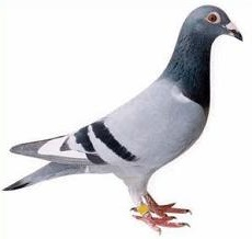 Pigeon clipart #10, Download drawings