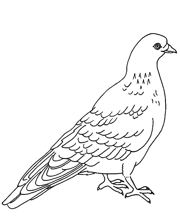 coloring pages pigeon - pigeon coloring download pigeon coloring