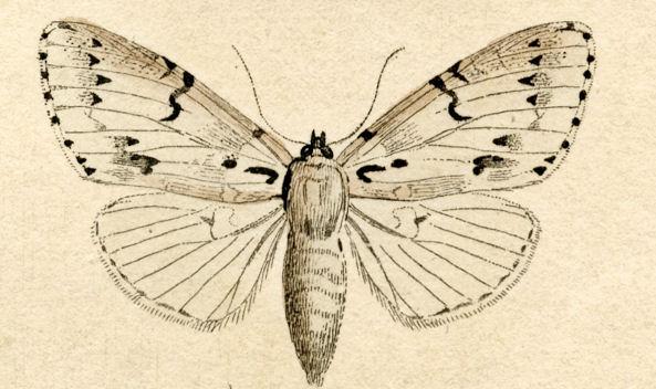 Pindi Moth clipart #3, Download drawings